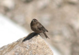 Brown-capped Rosy-Finch; female
