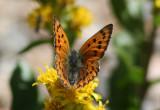 Lycaena cupreus; Lustrous Copper; female