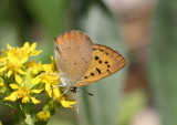 Lycaena helloides; Purplish Copper