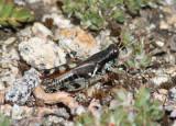 Melanoplus dodgei; Dodge's Short-wing Grasshopper; male