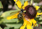 Chrysotoxum Syrphid Fly species