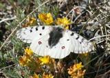 Parnassius smintheus; Rocky Mountain Parnassian; male
