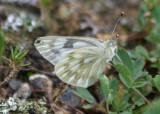 Pontia occidentalis; Western White; female
