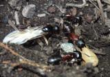 Tanaemyrmex Carpenter Ant species