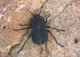 Asidopsis opaca; Darkling Beetle species