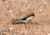 Melanoplus keeleri; Keeler's Spur-throated Grasshopper nymph