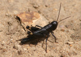 Boopedon nubilum; Ebony Grasshopper; male