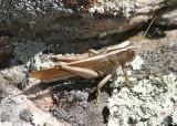 Schistocerca lineata; Spotted Bird Grasshopper; female