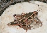 Brachystola magna; Plains Lubber Grasshopper