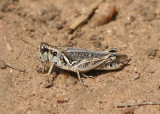 Melanoplus sanguinipes; Migratory Grasshopper; female