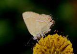 Callophrys gryneus siva; Siva Juniper Hairstreak