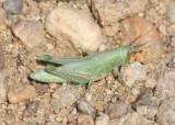 Hesperotettix speciosus; Showy Grasshopper