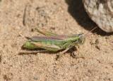 Hesperotettix viridis pratensis; Purple-striped Grasshopper; female