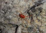 Erythraeinae Mite species