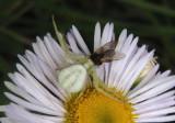 Misumena vatia; Goldenrod Crab Spider; female
