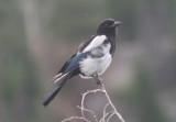 Black-billed Magpie; juvenile