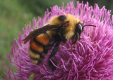 Bombus rufocinctus; Red-belted Bumble Bee