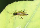 Acroricnus Ichneumon Wasp species