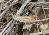 Eritettix simplex; Velvet-striped Grasshopper; male