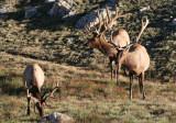 Elk; Bulls