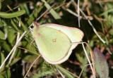 Colias scudderi; Scudder's Sulphur; female