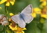 Plebejus glandon rustica; Rocky Mountain Arctic Blue; male