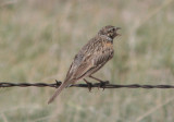 McCown's Longspur; breeding female