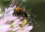Svastra obliqua; Long-horned Bee species
