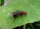 Formica rufa group; Wood Ant species