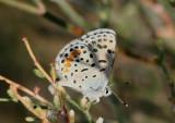 Euphilotes ancilla; Rocky Mountain Dotted Blue; male