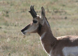 Pronghorn; young buck