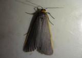 8043 - Eilema bicolor; Bicolored Moth