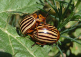 Leptinotarsa decemlineata; Colorado Potato Beetles
