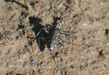 Cicindela punctulata; Punctured Tiger Beetle