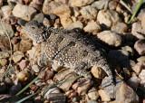 Eastern Short-horned Lizard