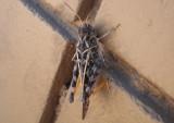 Xanthippus corallipes; Red-shanked Grasshopper