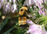 Bombus nevadensis; Nevada Bumble Bee