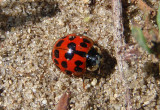 Harmonia axyridis; Multicolored Asian Lady Beetle; exotic