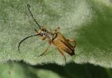 Typocerus acuticauda; Flower Longhorn species