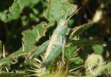 Melanoplus lakinus; Lakin Grasshopper nymph; male