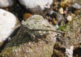 Paratettix cucullatus; Hooded Grouse Locust