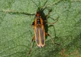 Chauliognathus marginatus; Margined Leatherwing