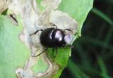 Canthon viridis; Tumblebug species