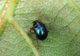 Brachypnoea Leaf Beetle species