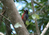 Puerto Rican Woodpecker; Endemic