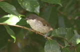 Puerto Rican Tanager; Endemic