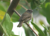 Black-faced Grassquit; female