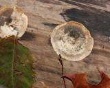 unknown flat fungi