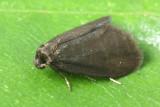 Family Psychidae - Bagworm Moths