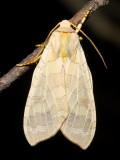 Banded Tussock Moth, Hodges#8203 Halysidota tessellaris